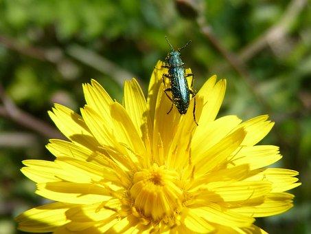 Green Beetle, Psilothrix Viridicoerulea, Dandelion
