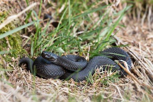 Hell Notter, Cross Otter Black, Nature, Snake, Reptile