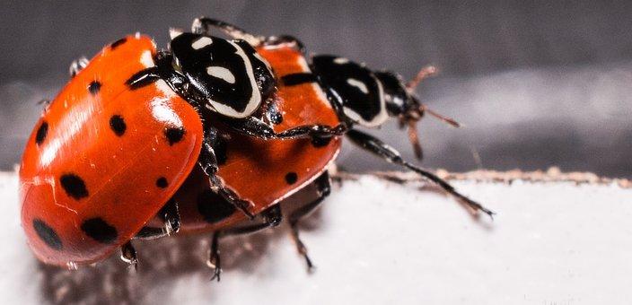 Ladybugs, Mating, Red, Ladybug, Macro, Lady, Natural