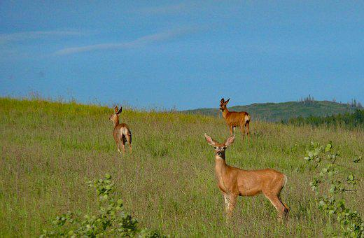 Deer, Wildlife, Animals, Muledeer, Meadow