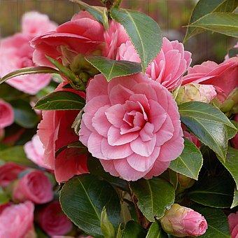 Camellia, Flower, Pink, Spring