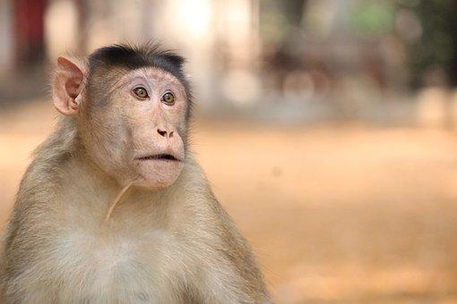 Monkey, Animals, Ravitabh Photography