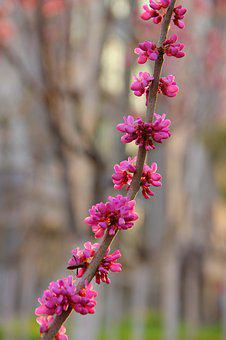 A String Of Purple Flowers, Redbud, Flower