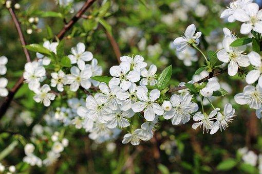 Spring, White, Flower, Slapetorn