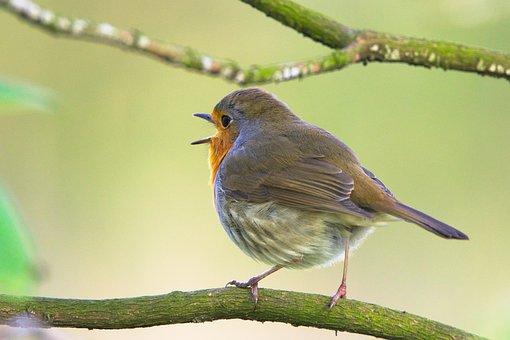 Robin, Sings, Bird, Sweet, Small Bird, Feather