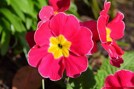 Pansy, Flower, Pink, Blossom, Petal, Bloom, Spring