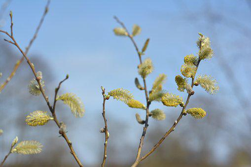 The Basis Of, Willow, Spring, Based Willow, Nature