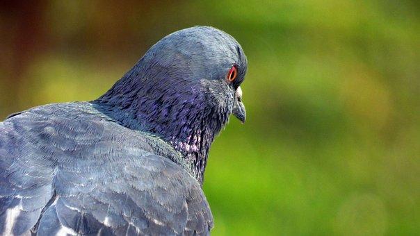 Wild Nature, Vták, Pigeon, Nature