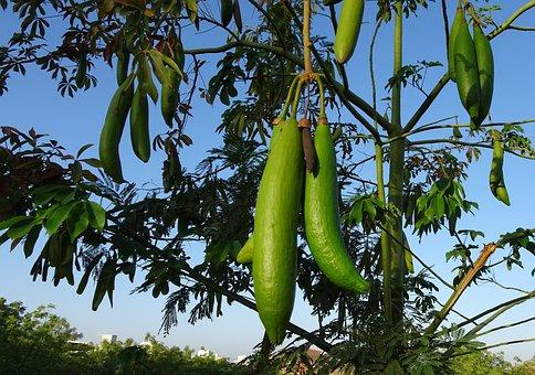 Kapok, Pod, Ceiba, White Silk-cotton Tree, Safed Semal