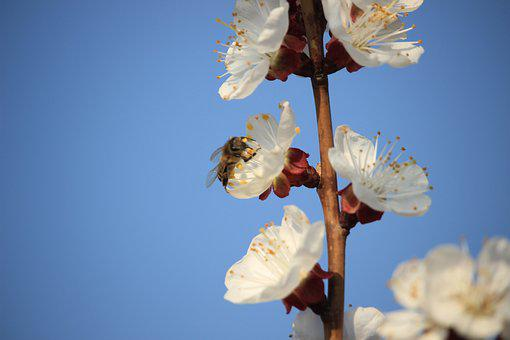 Spring, Bee, Color Apricot