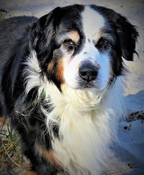 Dog, Australia Shepard, Black, White, Brown, Male