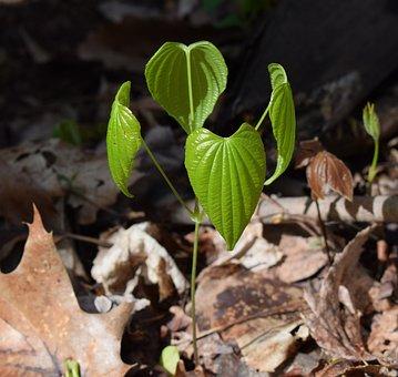 Dioscorea Quaternata, Wild Yam, New Leaves, Plant