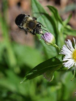 Fleabane And Bee, Bee, Fleabane, Flower, Blossom, Bloom