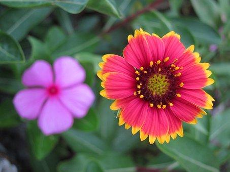 Penghu, Indian Blanket Flowers, Flower