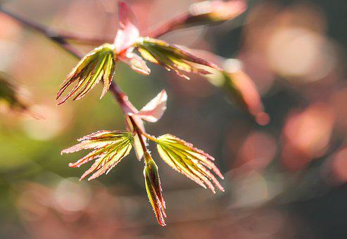 Acer Palmatum, Japan Maple, Maple Leaf, Spring, Nature