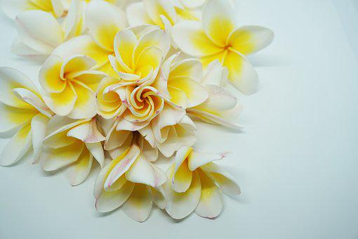 More Information, Dok Champa Laos, Frangipani Flowers