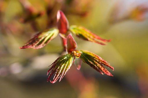 Acer Palmatum, Japan Maple, Maple Leaf, Spring, Nature