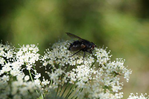 Gadfly, Insect, Animal, Nature, Insects, Macro, Animals