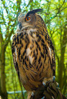 Eagle Owl, Owl, Bird Of Prey, Raptor, Nature, Forest