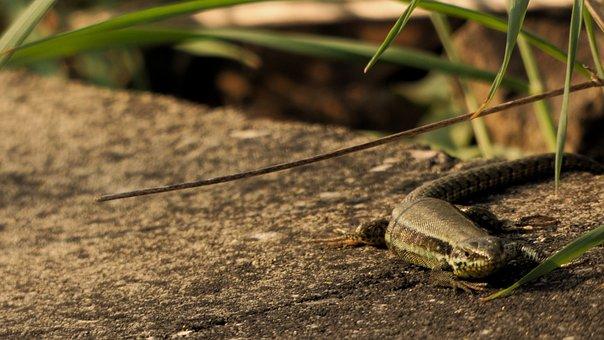 Lizard, Spring, Stone, Train, Gleise, Animals, Reptile