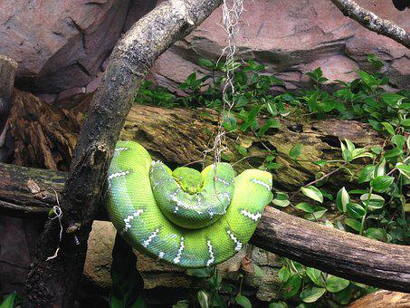 Snake, Green, Nature, Terrarium, Gray Green, Tree