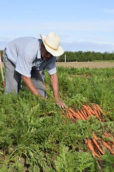 Carrot, Grower, Carrot Grower, Farmer, Vegetable