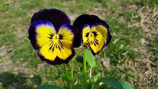 Pansies, Viola Tricolor, Pansy Flower, Pansy