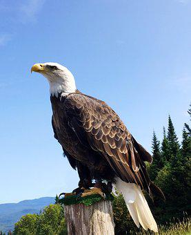 Eagle, Bird, Wild, Wild Animal, American Eagle