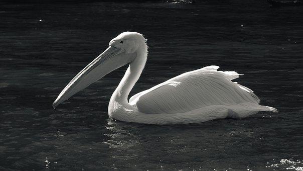 Animal, Zoo, Pelican, White, Wild, Wildest, Bird
