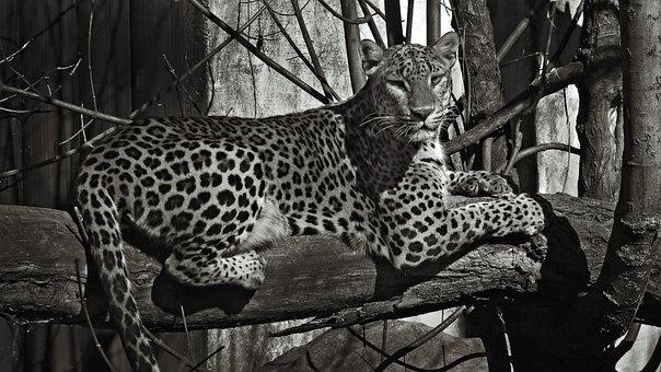 Zoo, Tiger, Animal, Lion, Wild, Black, White, Tree, Cat