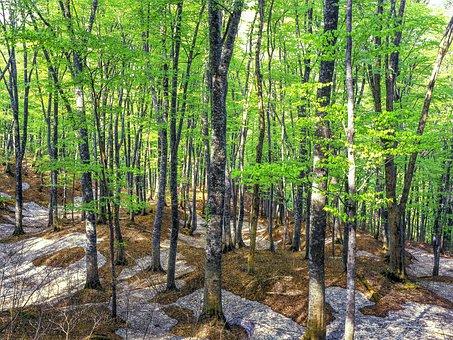 Beech Forest, Spring, Fresh Green, Snow