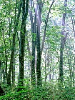 Woods, Morning Mist, Light, Beech Forest