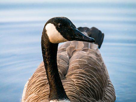 Canada Goose, Goose, Bill, Head, Eye, View, Look