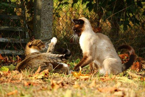 Cat, Siam, Domestic Cat, Breed Cat, Siamese Cat