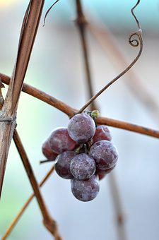 Grapes, Cluster, Bunch, Grapevine, Wine, Fruit, Winery