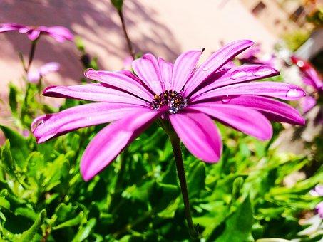 Flower, Daisy, Marguerit, Flowers