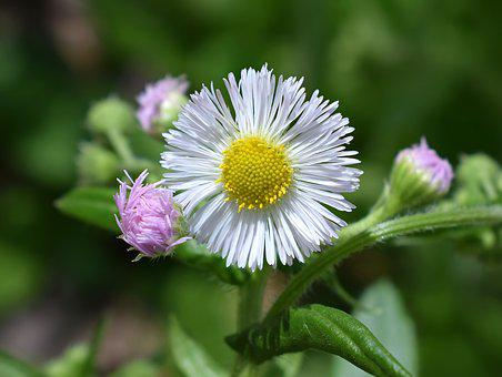 Fleabane, Wildflower, Medicinal, Flower, Blossom, Bloom