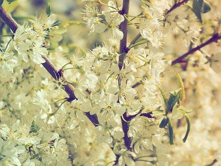 Cherry Blossoms, Nature, Cherry, Flowering Branch