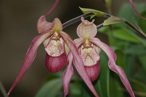 Orchids, Flowers, Cattleya Orchid, Pink Orchid