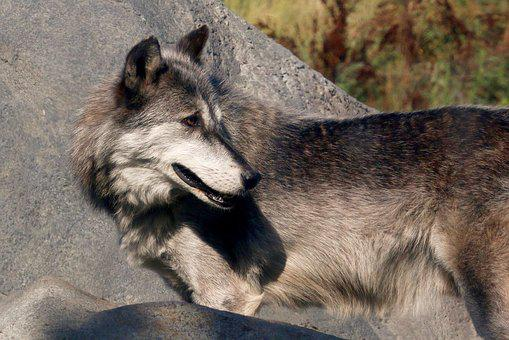 Wolf, Wildlife, Nature, Animal, Mammal, Fur, Head