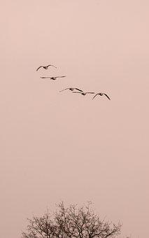 Wild Geese, Goose, Geese, Fly, Flight, Wild Goose