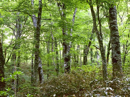 Woods, Beech Forest, In The Early Summer, Forest