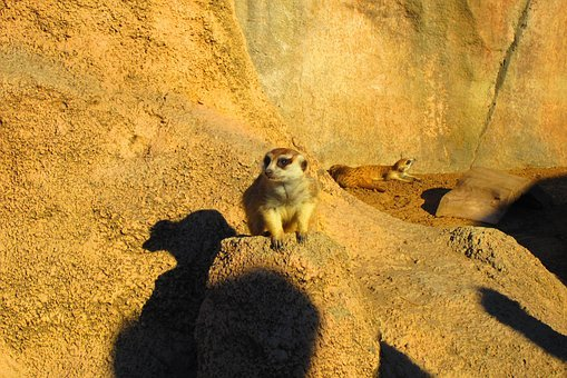 Animals, King Leon, Meerkat, Africa, Zoo, Mammal