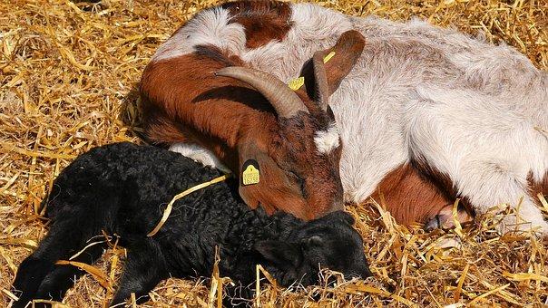 Lambs, Lamb, Easter, Heidschnucken, Lüneburg Heath