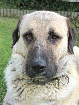 Dog, Kangal, Nature