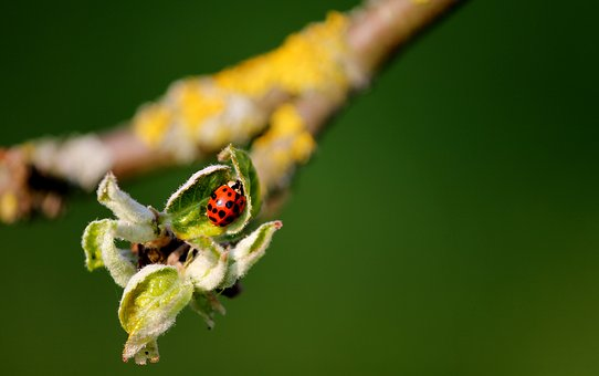 Ladybug, Leaf Buds, Branch, Insect, Spotted, Red
