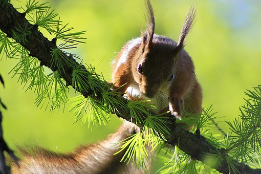 Squirrel, Beauty, Animal, Rodent, Branch, Walnut, Jump