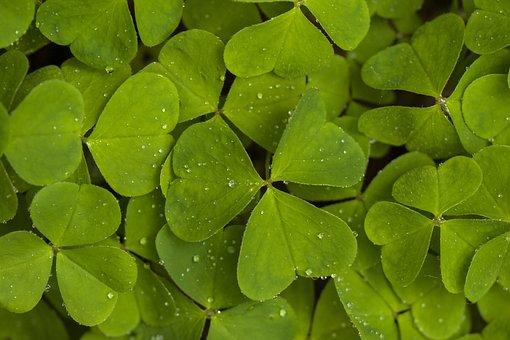 Sorrel, Nature, Forest, Four Leaf Clover