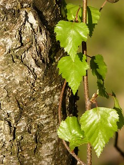 Birch, Bark, Tree, Nature, Log, Tribe, White, Tree Bark