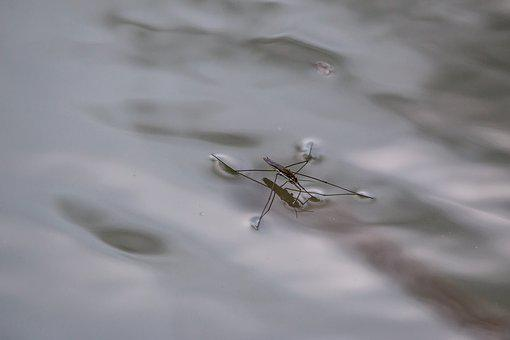 Water Striders, Lake, Pond, Island, Water, Waters